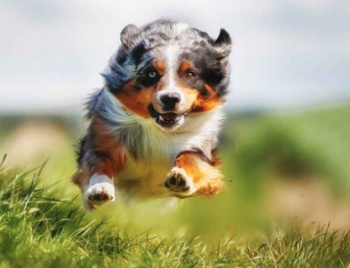 Tips for Maintaining an Active and Healthy Dog
